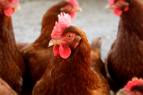 Chickens: proposed sheds would house 45,000 birds