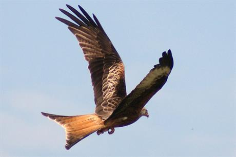 Red kites: concerns over wind farm impact (pic: Joe Pell via Flickr)