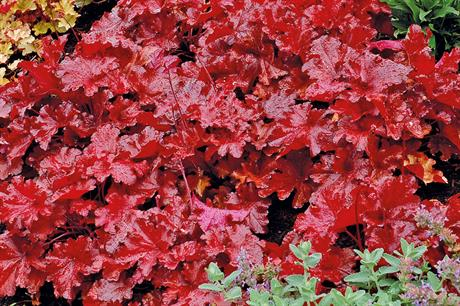 New plants: Heucheras - building on their booming popularity