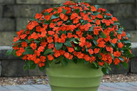 How will impatiens make a mark in 2019?
