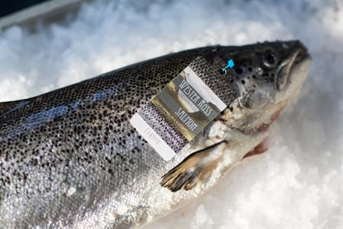 How salmon farming brought new life to the Scottish Highlands and Islands