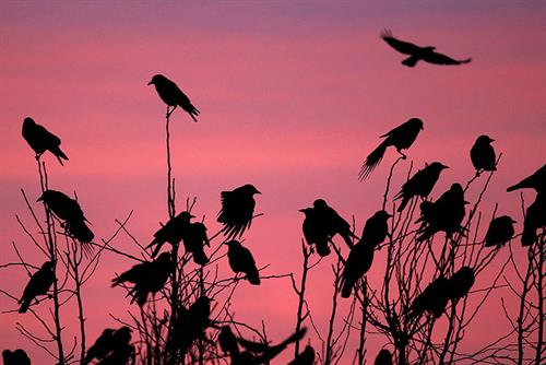 Landowners to Gove: Give us new general bird kill licences free of burdens