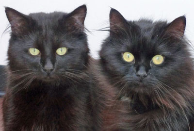 Black cats are less popular