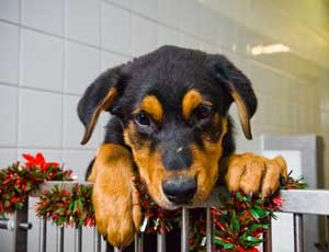 I'm not just for Christmas: 1.8 per cent of dogs will be given as gifts