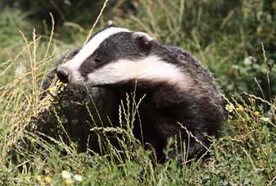 Two hunt members interfered with badger sett