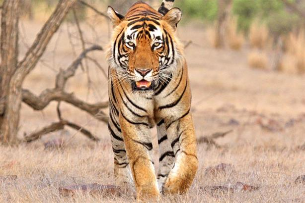 Tiger Nation: helps NGOs recognise tigers by their stripe patterns