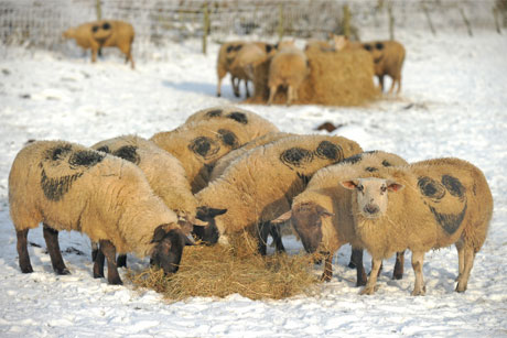 Were these sheep a Hit or Miss?