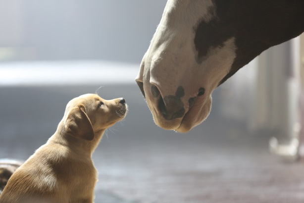 Budweiser's Puppy Love Super Bowl commercial
