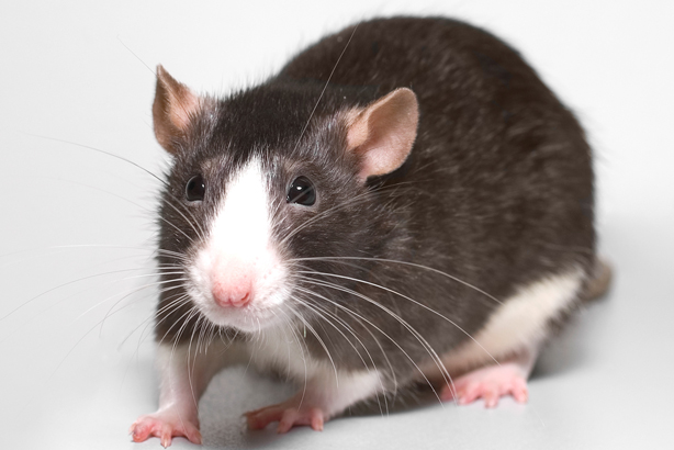 I smell a rat: The charity hopes it has eradicated the island's rat problem