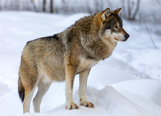 Nature: Wolf at Ähtäri Zoo, Finland (Image: Ninara / Flickr)