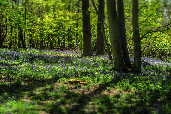 Nature - Ashridge Woods Bluebells (JR)