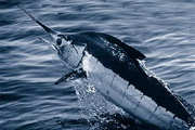 Fish, marlin (Credit: US National Oceanic and Atmospheric Administration)