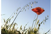 Nature, poppy
