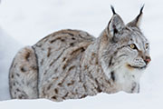 Nature, Eurasian lynx (credit: Kjetil Kolbjornsrud/123RF)