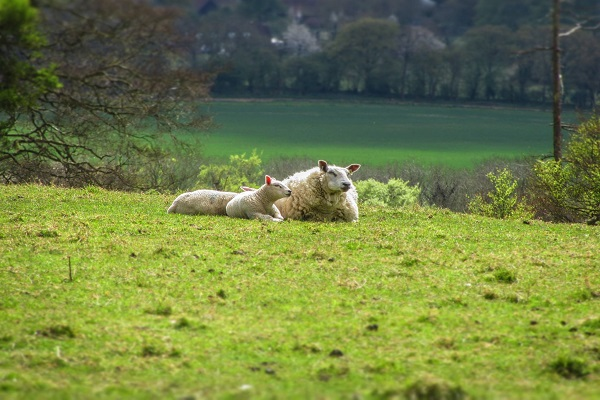 Agriculture - Sheep in Ashbridge (JR)