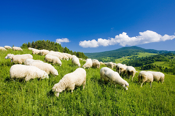 Agriculture, sheep farm in Slovakia (Richard Semik/123RF)