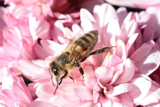 Pesticides - Bee harvesting pollen (Pixabay)