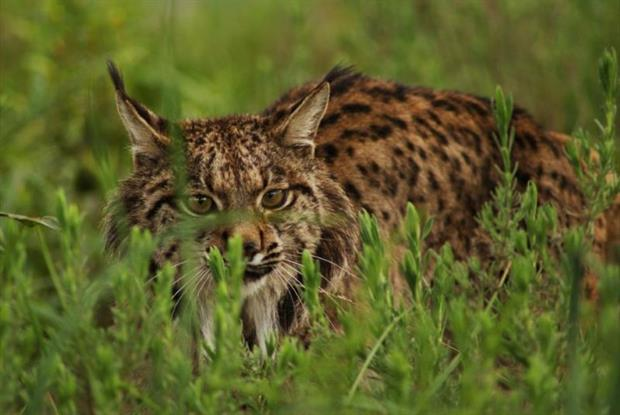 An Iberian lynx bred as part of a conservation programme. The big cat appears in the IUCN's 'red list' for Europe. Image: Ex-situ Conservation