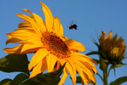 Chemicals; pesticides; bee landing on a sunflower