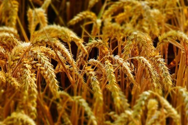 Biofuels - wheat