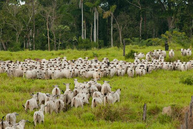 Cattle grazing in deforested land: Member states are worried the Mercosur deal could hasten the demise of the Amazon rainforest. Photo: Marco Antonio Rezende/Brazil Photos/LightRocket via Getty Images