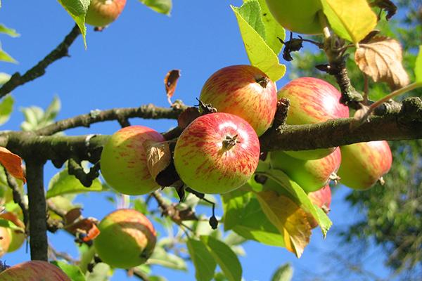 Nature, Apples (photograph: Pixabay)