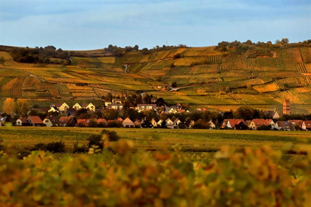 Autumnal vinyards surrounding Sigolsheim in the Alsace region of eastern France. Campaigners fear reformed EU farming subsidies will fail to reverse halt farming's environmental impact. Photo: David Silverman/Getty Images
