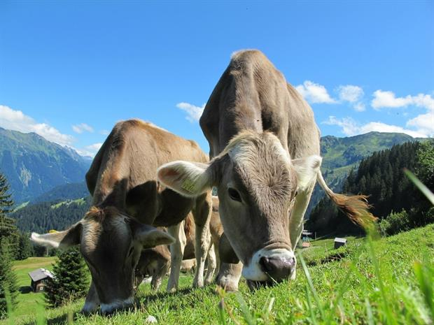 Agriculture - Cows grazing in Austria (Pixabay)