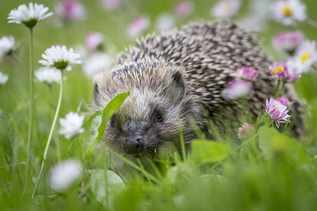 The European hedgehog, once common, has seen precipitous declines in recent years. Image: Erik Karits / Pixabay
