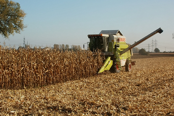 Crops, maize harvesting