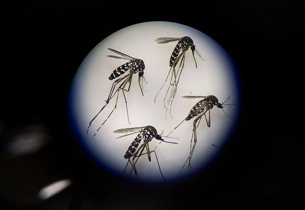 Adult female mosquitos are seen uder a microscope at a Sun Yat-Sen University-Michigan University joint centre in Guangzhou, China. Photo: Kevin Frayer/Getty Images