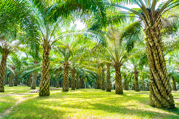 Products, palm oil plantation (photograph: Saidin B Jusoh/123RF)