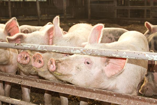 Agriculture, pig farm (Nataliia Peredniankina/123RF)