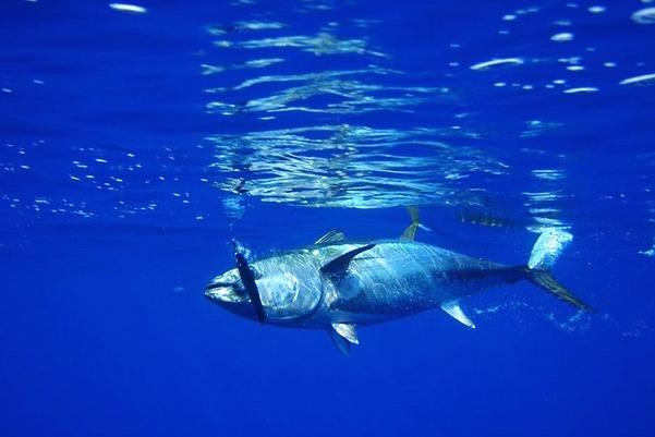 Nature - tuna swimming (Pixabay)