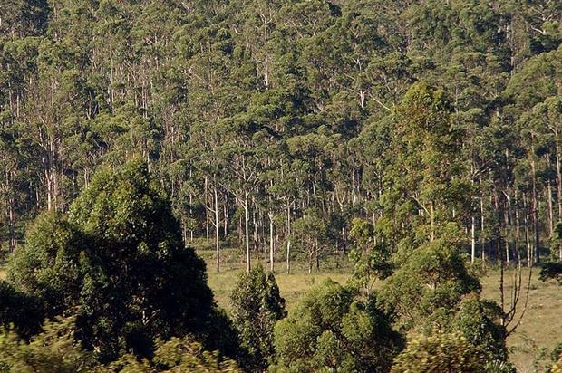 A eucalyptus plantation. Credit: CC BY 3.0 BR Agência Brasil