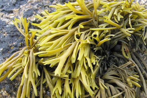 Seaweed Photo wikimedia.org