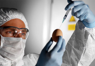 Scientist injecting a solution of avian influenza viruses into a chicken egg (Photograph: SPL)