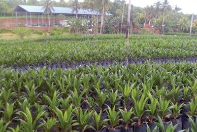 Palm oil plantation, courtesy of CCA3, Oscark