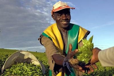 Kenyan tea picker in crop