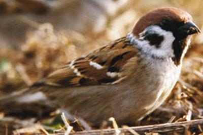 Tree sparrow, courtesy of RSPB