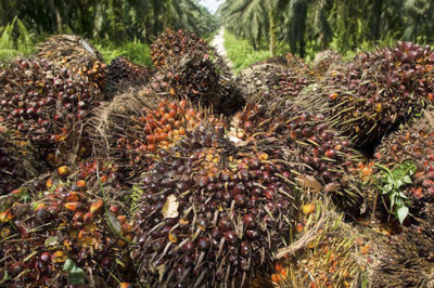 Palm oil plants, courtesy of Golden Agri-Resources