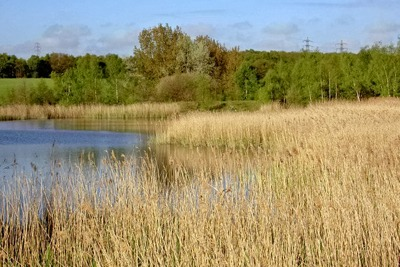 Reed beds near to the River Dearne (credit: Steve F/Creative Commons)