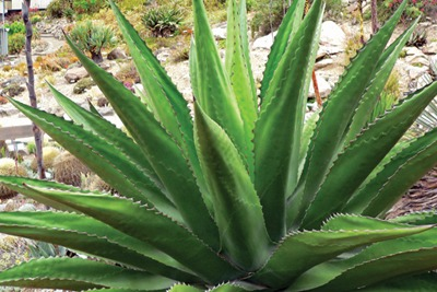 Agave plants can be used for biofuel (CCA-S 3.0, Stan Shebs)