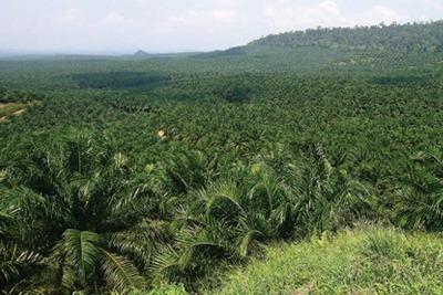 Oil palm plantation in Sabah, Malaysia (credit: lian Pin Koh)