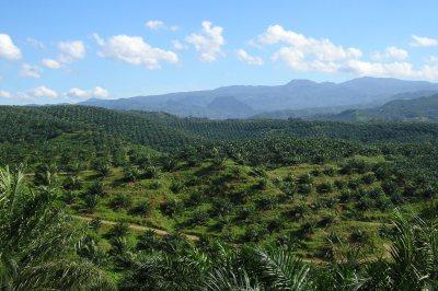 Oil palm plantation in Cigudeg, Indonesia. Credit: Achmad Rabin Taim