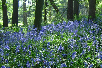 Bluebells in woods near Ardingly reservoir. Credit: Simon Evans