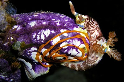 Sea squirt. Credit: Nick Hobgood CCA3.0