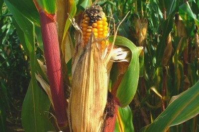 Two GM maize varieties are licensed for EU cultivation. Credit: H. Zell (CC BY-SA 3.0)