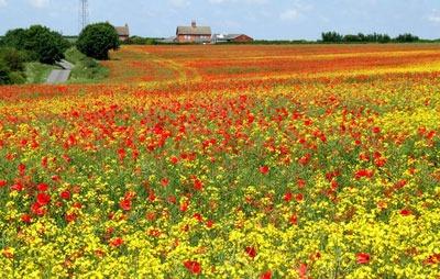 Poppies. Credit: Dave Hitchborne