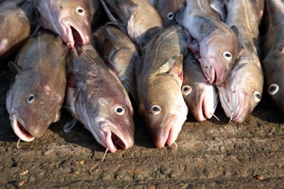 A ban on discards of North Sea cod would help bring stocks to sustainable levels (picture: David Harding / Fotolia)